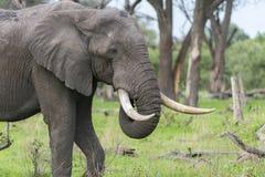 Byka słoń z masywnymi kłami Fotografia Royalty Free
