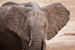 Byka słonia zbliżenie Obrazy Royalty Free