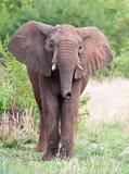 byka słonia potomstwa Obrazy Royalty Free