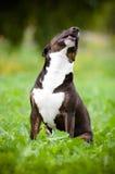 Byka teriera psa portret w trawie Obraz Royalty Free