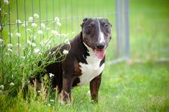 Byka teriera psa portret w trawie Zdjęcia Royalty Free