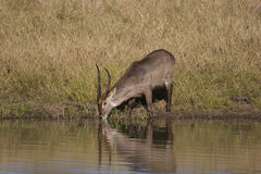 byka waterbuck Obrazy Royalty Free