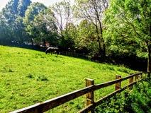 Byker gospodarstwa rolnego krowa obraz royalty free