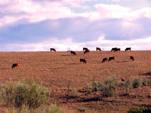 Byki w Albacete Obrazy Stock