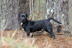 Byracka för hund för avel för svart beagletax blandad Royaltyfria Bilder