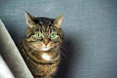 Byrackan gjorde randig katten, fettkinder, närbildstående, sitter bak en grå färg skyler royaltyfria bilder
