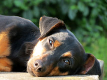 Byrackor för svart hund royaltyfri foto