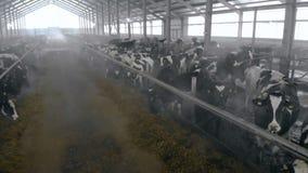 Byre espacioso con las vacas que comen el forraje almacen de metraje de vídeo