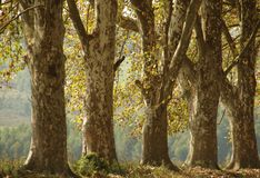 Byrne Valley South Africa - Autumn Plane Trees. Part of an avenue of Plane trees near Richmond in South Africa royalty free stock images