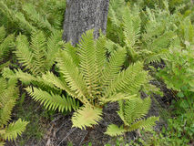 Bysh fern grows in the forest Royalty Free Stock Photo