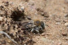 Byssina de Trachusa que cava en arena Fotografía de archivo libre de regalías