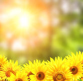bystre słoneczniki żółte Zdjęcia Stock