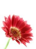bystry gerber odizolować różowy daisy Obraz Royalty Free