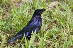 Błyszczący Cowbird, Molothrus bonariensis Obraz Royalty Free