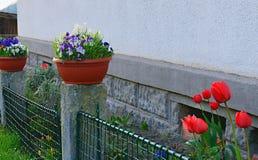 Byträdgården Vår som är trädgårds- framme av byhus Tulpan i en liten trädgård Våren blommar i en plast- blomkruka järn Arkivfoton