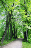 Byway in the forest. Alley with green trees Stock Photography