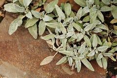 Byzantine Stachys - малое бледное - голубые листья лежит на песчанике стоковая фотография rf