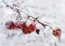Bzdur jabłka na lodowatej gałąź fotografia royalty free