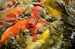 Bzdury lub Koi ryba Zdjęcia Stock