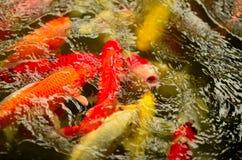 Bzdury lub Koi ryba w basenie Zdjęcia Stock