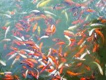 Bzdury odgórnego widoku rybi staw w parku, Galanteryjna bzdury ryba powierzchnia dalej Obrazy Stock