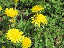 Bzhilka and dandelion. On green background yellow dandelion.Dandelion appears in early spring and is one of a very small number of plants, which are able to stock images