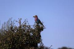Bzu rolownik, Coracias caudata, Chobe park narodowy, Botswana Obraz Royalty Free