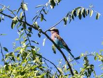 Bzu rolownik, Coracias caudata, Chobe park narodowy, Botswana Fotografia Royalty Free