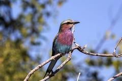 Bzu rolownik, Coracias caudata, Chobe park narodowy, Botswana Obrazy Stock