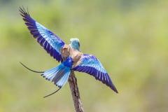 Bzu rolownik w Kruger parku narodowym, Południowa Afryka Zdjęcia Royalty Free