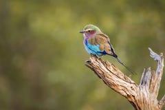 Bzu rolownik w Kruger parku narodowym, Południowa Afryka Fotografia Royalty Free