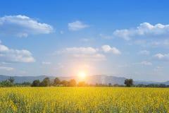 Cáñamo de Sunn o color del amarillo del juncea del Crotalaria Fotos de archivo