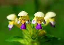 Cáñamo-ortiga o hempnettle Grande-florecida de Edmonton Fotos de archivo libres de regalías