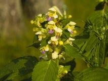 Cáñamo-ortiga o hempnettle Grande-florecida de Edmonton, Galeopsis Speciosa, planta con las flores en fondo del bokeh Imagenes de archivo