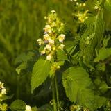 Cáñamo-ortiga o hempnettle Grande-florecida de Edmonton, Galeopsis Speciosa, planta con las flores en fondo del bokeh Imágenes de archivo libres de regalías