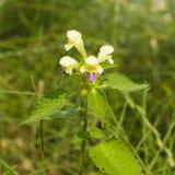 Cáñamo-ortiga o hempnettle Grande-florecida de Edmonton, Galeopsis Speciosa, planta con las flores en fondo del bokeh Fotografía de archivo