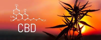 Cáñamo y marijuana de CBD Productos del cáñamo del aceite Fórmula química de Cannabidiol Productos superiores crecientes del cáña libre illustration
