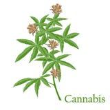cáñamos Ejemplo de una planta en un vector con la flor para nosotros stock de ilustración