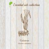 Cálamo, etiqueta del aceite esencial, planta aromática Fotos de archivo