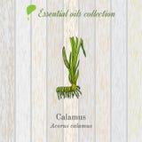 Cálamo, etiqueta del aceite esencial, planta aromática Imagen de archivo