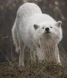Cámara ártica de Wolf Stretching And Looking Into Imagen de archivo