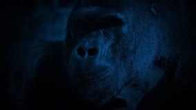 Cámara de Gorilla Eating Looks Up At en la noche almacen de video
