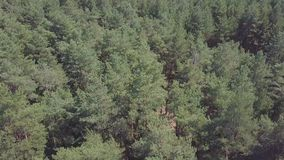 Cámara de visión aérea del bosque verde de los tops mezclados densos del árbol de árboles y de abedules de pino clip Visión aérea Imagen de archivo libre de regalías