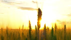 CÁMARA LENTA AÉREA: Un sol de oro hermoso que brilla a través de los puntos del trigo de los jóvenes en un campo de trigo en la p almacen de metraje de vídeo