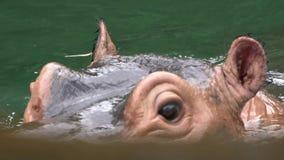 Cámara lenta, baño común de la toma del hipopótamo del primer en el lago, fauna de la naturaleza metrajes