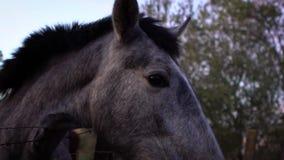 Cámara lenta de la cabeza de torneado del caballo blanco en la granja con los árboles en fondo almacen de video