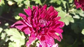 Cámara lenta de la flor hermosa del crisantemo en el florista metrajes