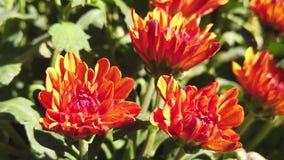 Cámara lenta de la flor hermosa del crisantemo en el florista almacen de metraje de vídeo