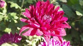 Cámara lenta de la flor hermosa del crisantemo en el florista almacen de video