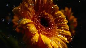 cámara lenta de la flor y de la lluvia